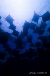 School of Mobula Rays by Vincent Kneefel