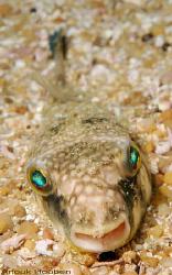 Pufferfish, Arothron sp. Picture taken off Negombo, Sri L... by Anouk Houben