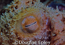octopus eye taken at scuba club cozumel on a night dive by Douglas Epley