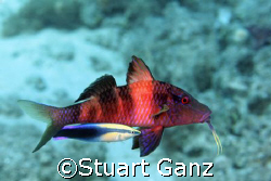 Goat fish getting a cleaning from a Hawaiian cleaner wrasse. by Stuart Ganz