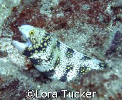 Snowflake Eel by Lora Tucker
