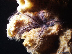 This photo of a Brittle Starfish was taken in Roatan duri... by Steven Anderson