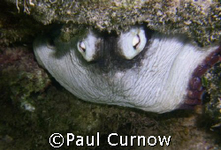 hiding octopus by Paul Curnow