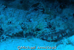 Lizard Fish off the South Shore of the Hawaii. by Michael Armistead