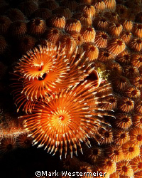 I can never resist christmas tree worms, perhaps one day ... by Mark Westermeier