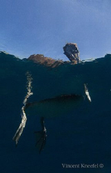 Mexican Pelican from a different angle, La Paz  by Vincent Kneefel