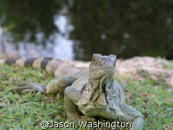 These lizards live behind my house. They keep my dogs ent... by Jason Washington