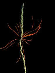 crynoid on a wire coral on a night dive by Mitch Bowers