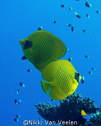 Masked butterflyfish, almost looking like they are in a c... by Nikki Van Veelen