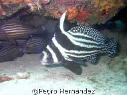 Spotted Drum Humacao, Puerto Rico by Pedro Hernandez