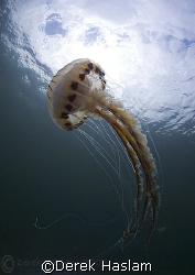 Compass jelly fish. Connemara. D200, 10.5mm. by Derek Haslam
