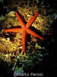 Portraite of a Red Starfish (Echinaster sepositus) Porto ... by Marko Perisic