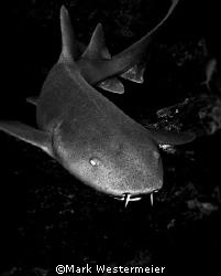 Nurse Shark - Image taken in Belize with a Nikon D100, 18... by Mark Westermeier