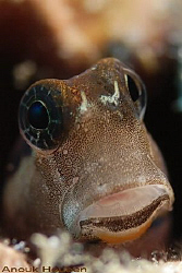 Blenny, Ecsenius sp. Picture taken off Negombo, Sri Lanka. by Anouk Houben