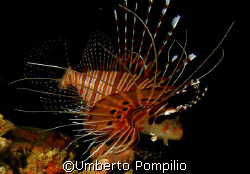 Lion fish by Umberto Pompilio