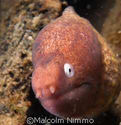 Enquiring moray  -Tioman Malaysia, Nikon D70S, 60mm  by Malcolm Nimmo