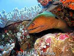Spotted Moray-eel. Amed Bali by Marko Perisic