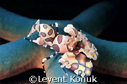 Harlequin shrimp by Levent Konuk