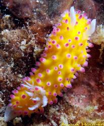 Nudibranch, Cadlinella ornatissima. Picture taken off Neg... by Anouk Houben