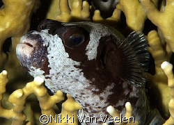 Masked pufferfish resting on fire coral! Taken on a night... by Nikki Van Veelen