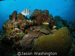 Sgt. Major on Turtle Reef Grand Cayman by Jason Washington