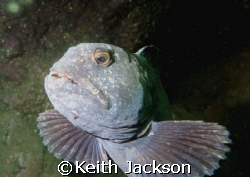 Wolf Fish, taken at St. Abbs, Scotland, with Fuji F 11 an... by Keith Jackson