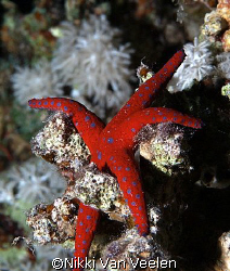 Ghardaqa sea star taken on a night dive at Ras Caty with ... by Nikki Van Veelen