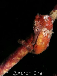 Red seahorse at Town Pier in Bonaire by Aaron Sher
