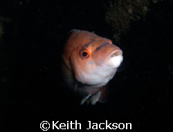 Female Cuckoo Wrasse taken on the wreck of the Koln, scap... by Keith Jackson
