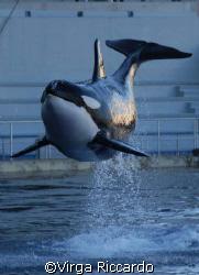 bellissima orca in mariland by Virga Riccardo