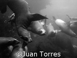 Curious California Sea Lions off the coast of Los Coronad... by Juan Torres