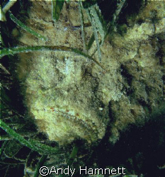 The grimfaced Stonefish. He was lying in about 3 feet of ... by Andy Hamnett
