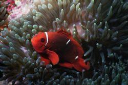 Clownfish, Ribbon Reef # 9 GBR Australia by Matthew Hull