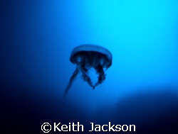 Spooky Alien. This is a small jelly fish taken inside cat... by Keith Jackson