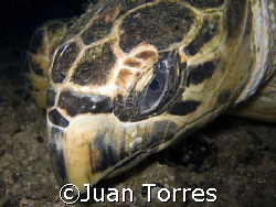 "Hawksbill Turtle on a night dive at the ""WIT Shoal"" wreck... by Juan Torres"