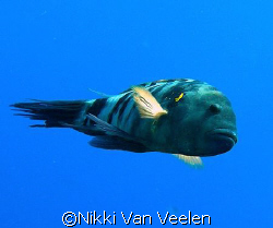 Broomtail wrasse taken at Ras Umm Sid while snorkeling wi... by Nikki Van Veelen