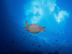 A turtle swimming/flying underneath the clouds at Sipadan. by Thomas Roesler