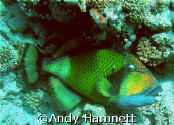 Big Trigger fish, he just lay there, getting cleaned, I t... by Andy Hamnett
