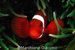 Clown red: Nikon D200 . 60 macro, two strobo. Walea August by Marchione Giacomo