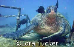Green Sea Turtle by Lora Tucker