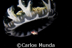 """UFO"" - a porcelain crab hitches a ride on a jellyfish. P... by Carlos Munda"