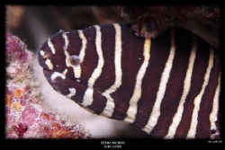 zebra moray - fiha lhohi maldives by Stewart Smith