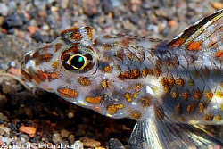 Decorated goby, Istigobius decoratus. Picture taken at Tu... by Anouk Houben