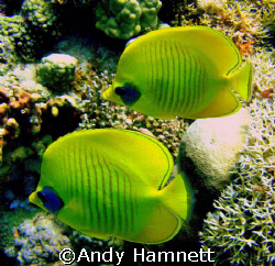 A pair of masked Butterfly fish, together for life.