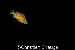 Norway redfish photographed in Kristiansund, Norway with ... by Christian Skauge