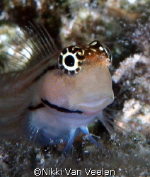 Red Sea Combtooth blenny taken at Sharksbay with E300 and... by Nikki Van Veelen