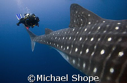 This is a good example of the size of a whale shark. With... by Michael Shope
