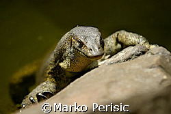 Perentie goanna getting the early morning sun. North West... by Marko Perisic