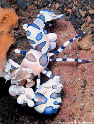 Harlequin shrimp, Hymenocera elegans. Picture taken at Se... by Anouk Houben