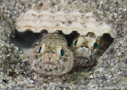 Home sweet home - pair of painted gobies.